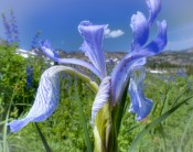Lake Tahoe Iris